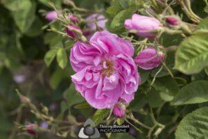 Roses Centifolia