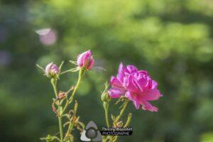 Les Roses Centifolia